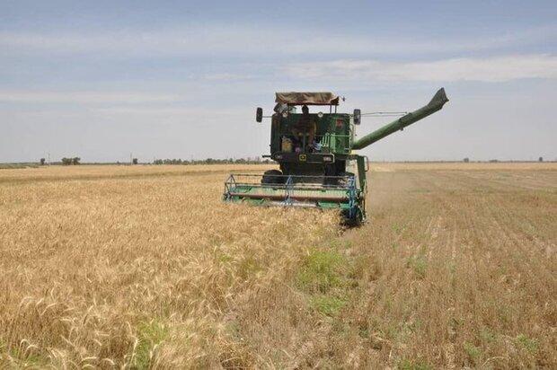 ۷۷ هزار تن گندم از مزارع استان بوشهر برداشت میشود