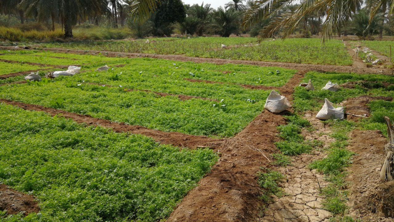 برگزاری کارگاه آموزشی  کشت انواع سبزیجات در زمین های شور