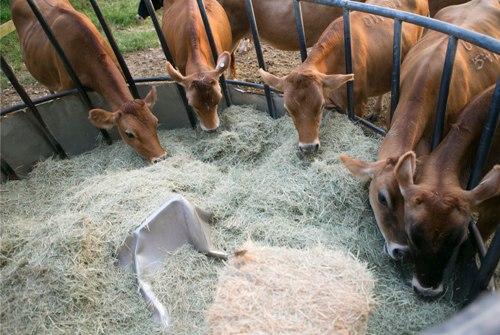 کارگاه آموزشی استفاده از پسماندهای کشاورزی در تغذیه دام در شهرستان گناوه