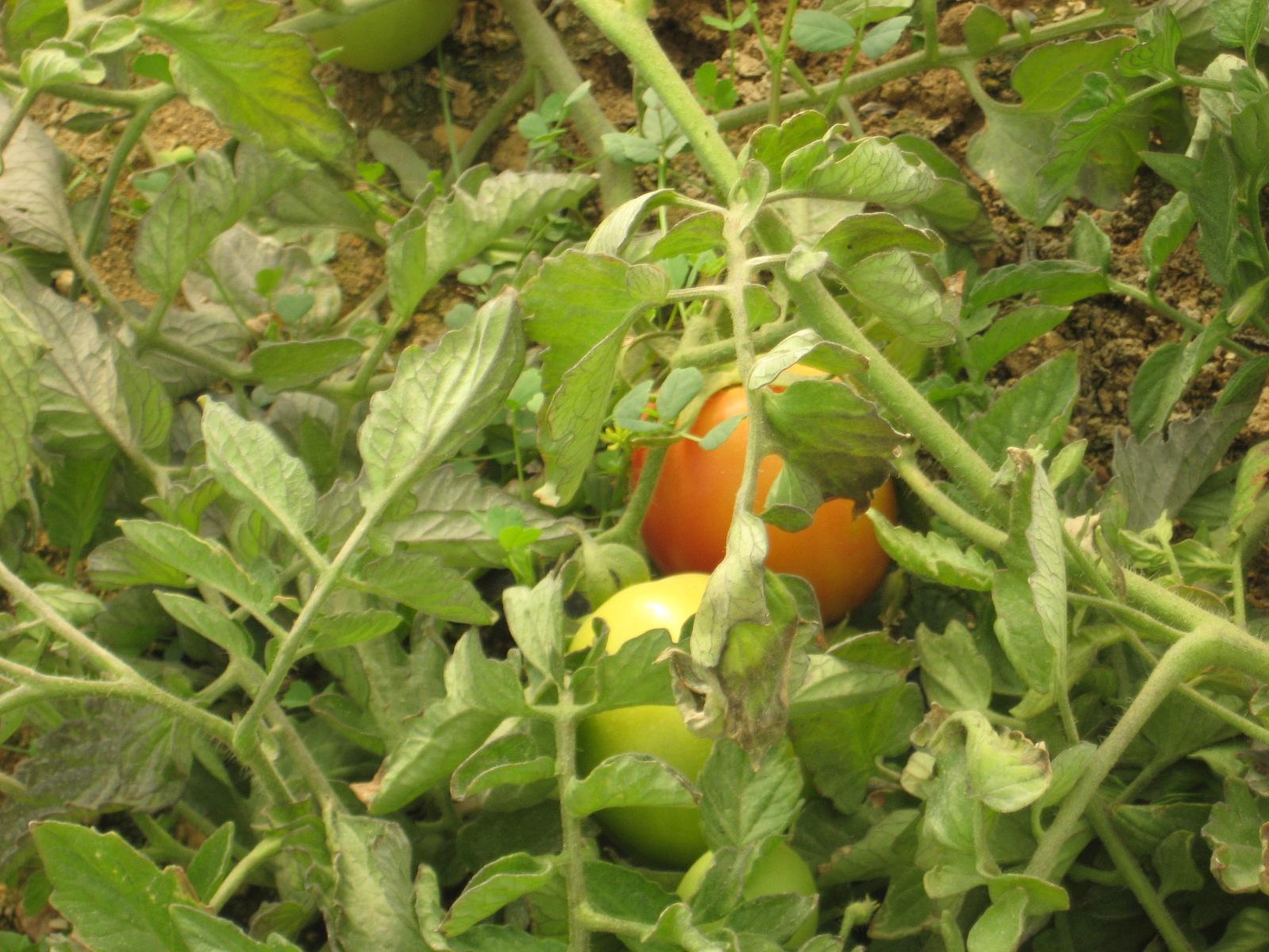 بخش گیاه پزشکی دانشکده کشاورزی دانشگاه شیراز از مزارع و گلخانه های استان بوشهر بازدید نمودند
