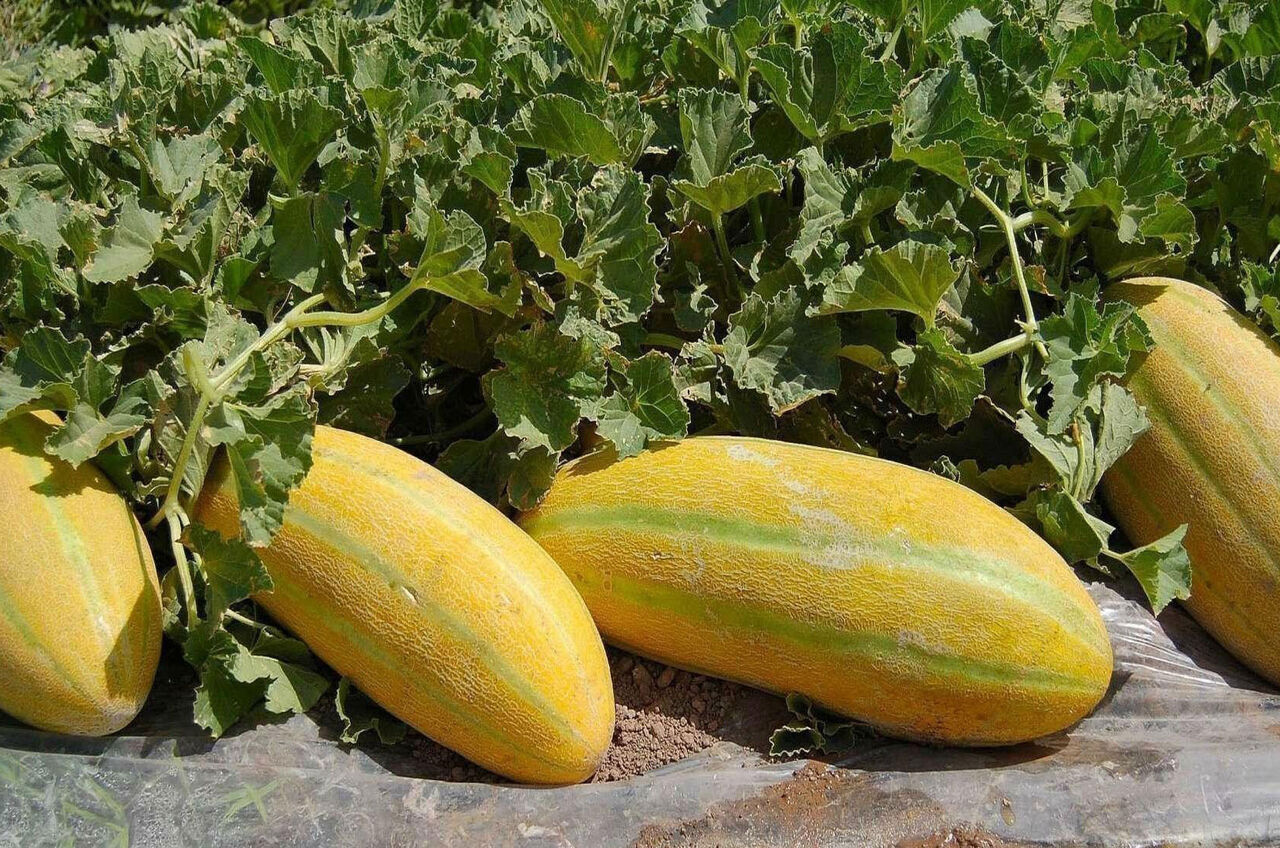 آغاز برداشت محصولات جالیزی از مزارع استان بوشهر