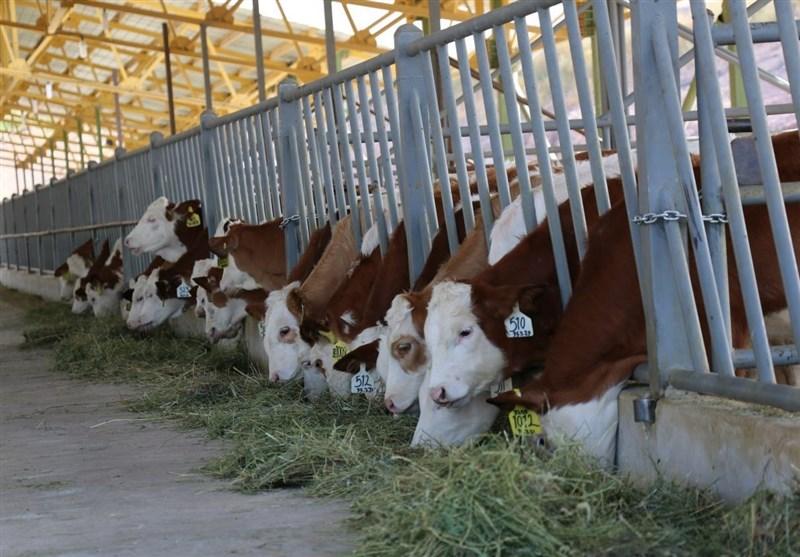 کارگاه آموزشی طرح توسعه گاوهای دومنظوره در شهرستان گناوه