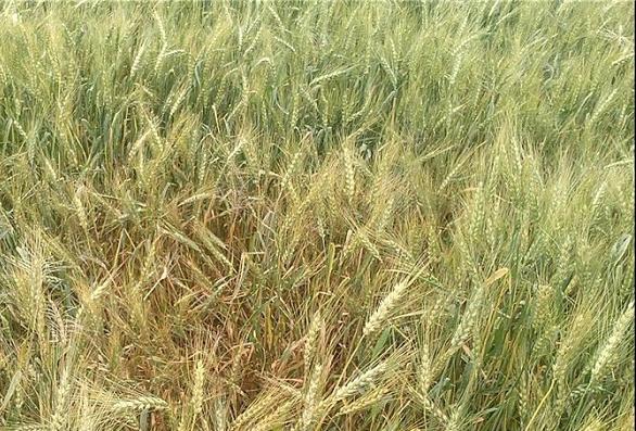 کارگاه آموزشی آفات و بیماری های گندم در شهرستان بوشهر برگزار گردید