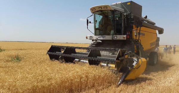افزایش بیش از چهار برابری تولید گندم در استان بوشهر