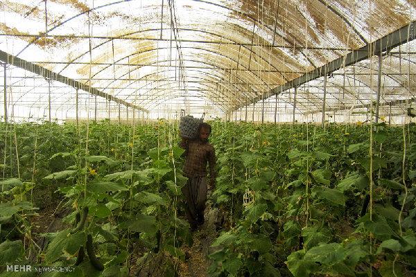 گلخانه داران تمهیدات لازم را جهت جلوگیری از خسارت به کار گیرند