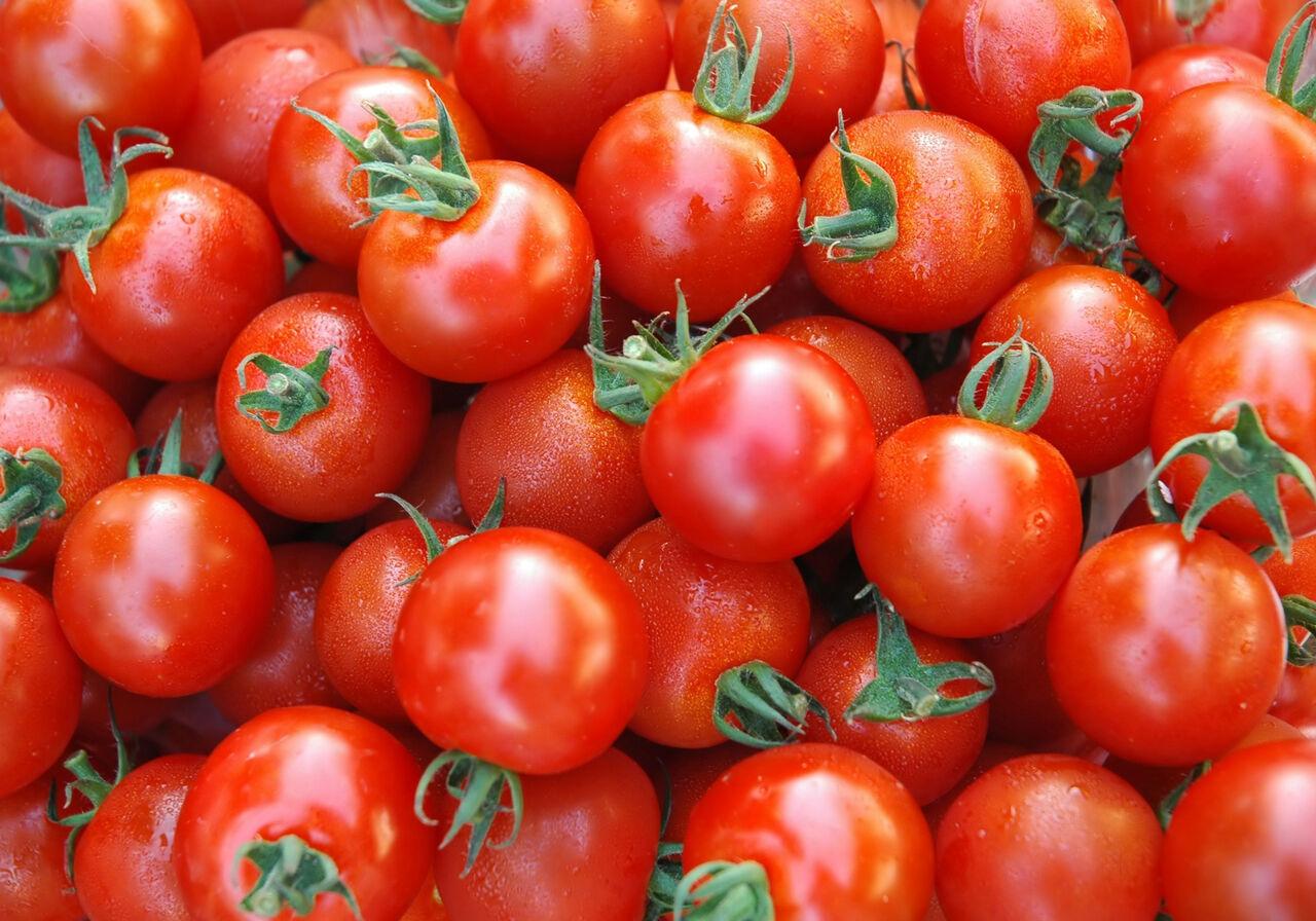 معاون جهاد کشاورزی بوشهر : این سازمان مسئولیتی در قبال کشت گوجه فرنگی خارج از الگوی استان ندارد