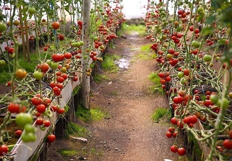 طرح ارتقای سلامت و کاهش آلایندهها در محصولات کشاورزی استان بوشهر اجرا شد