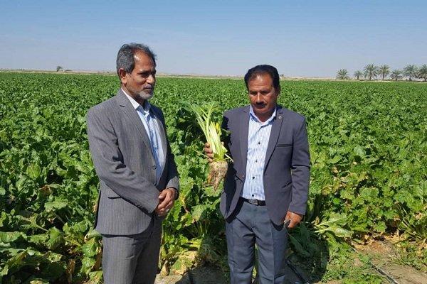 طرح امکان سنجی کشت چغندر قند پاییزه  در شهرستان تنگستان