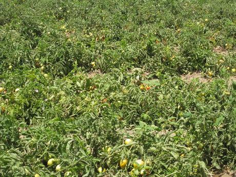 رهاسازی عوامل بیولوژیک در مزارع گوجه فرنگی استان بوشهر