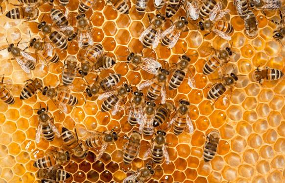 ایستگاه های تولید ملکه زنبور عسل در استان بوشهر افزایش می یابد