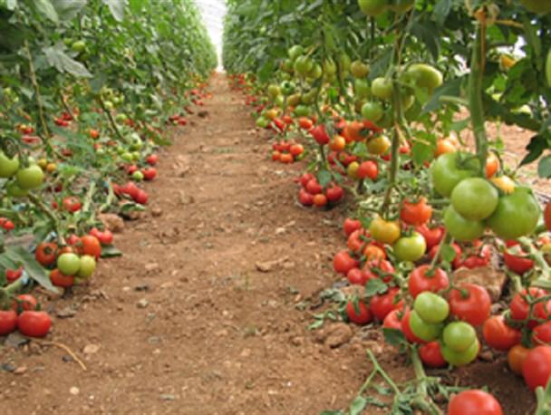 صدور حواله خرید بذر گوجه منوط به رعایت الگوی کشت خواهد بود