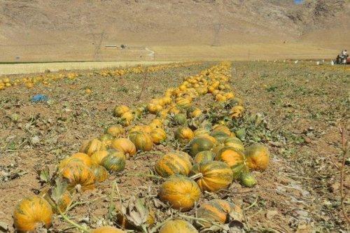 ۲۵ هزار تن محصول کدو امسال از مزارع شهرستان دشتستان برداشت میشود