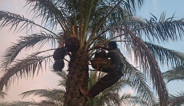 کارگاه آموزشی کاهش ضایعات خرما در شهرستان دشتستان برگزار گردید