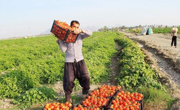 سایت الگویی تولید محصول سالم گوجه فرنگی در شهرستان عسلویه آغاز به کار کرد