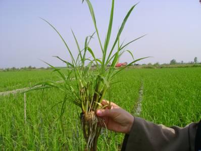 علف های هرز مهمترین عامل خسارتزا در مزارع گندم آبی