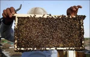 کارگاه آموزشی تولید ژله رویال و گرده گل زنبور عسل در استان بوشهر برگزار گردید