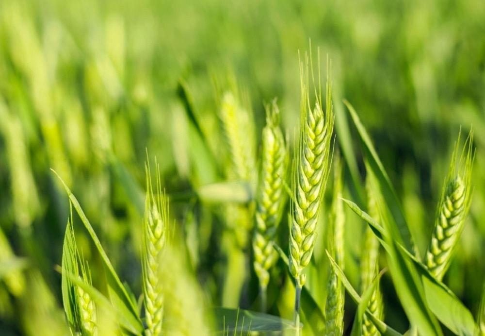 برگزاری کارگاه آموزشی – ترویجی مدیریت تولید گندم در شهرستان دشتی