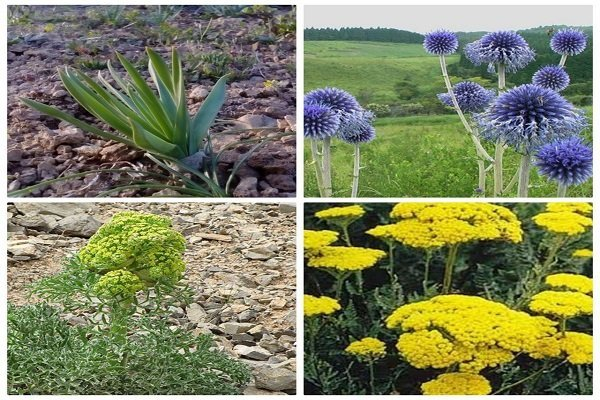 توسعه کشت گیاهان دارویی در شهرستان تنگستان