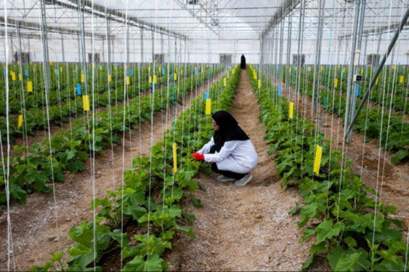 سالانه 70 درصد محصولات کشاورزی استان بوشهر بیمه می شوند