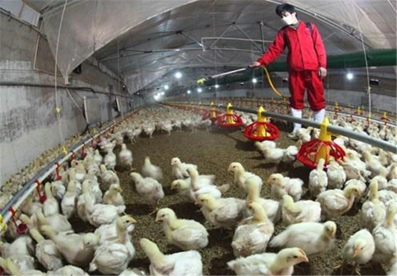 آنفولانزای حاد پرندگان و افزایش قیمت تخم مرغ
