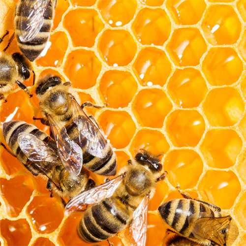 کارگاه آموزشی استحصال زهر زنبور عسل در شهرستان دشتی برگزار گردید
